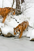 Two tigers on a coast of a frozen pond at the winter day. The Tigers want to cross the pond. One of them is testing the ice while another is standing on a rock and watching. White snow highlights the orange color of their fur. Characteristic patterns and textures of fur are clearly visible. In the background is scarce vegetation and thinned trees.