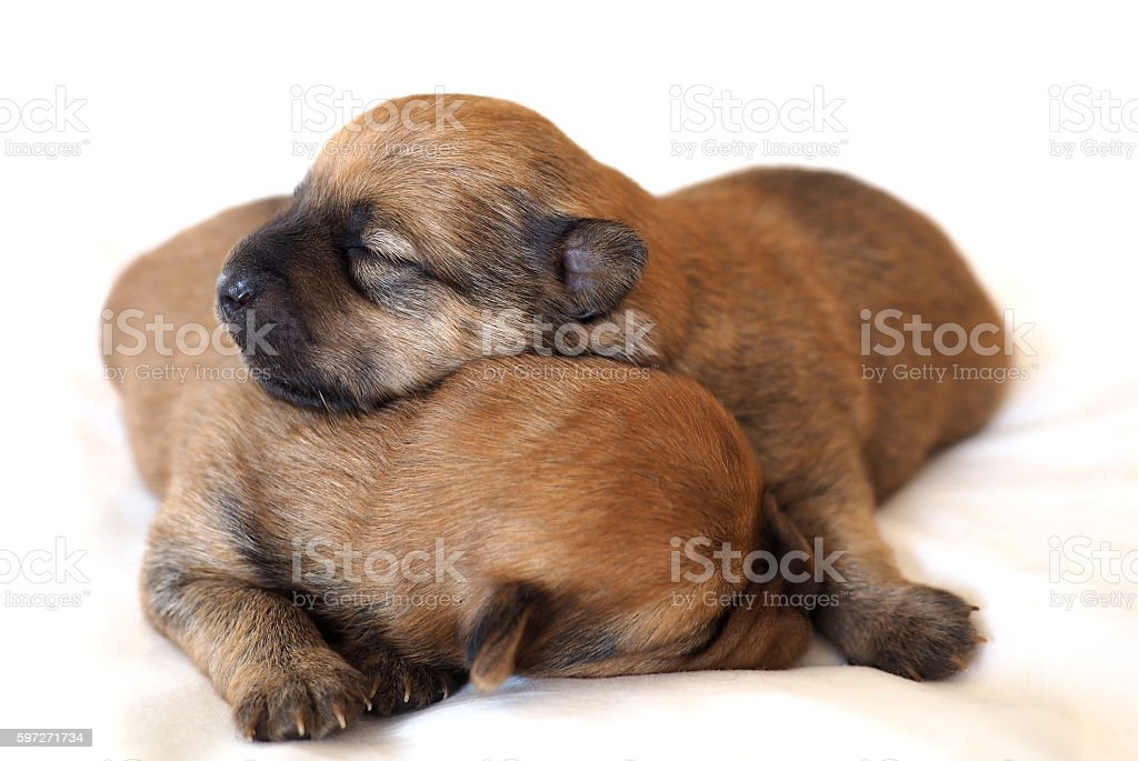Two tiny baby puppies Lizenzfreies stock-foto