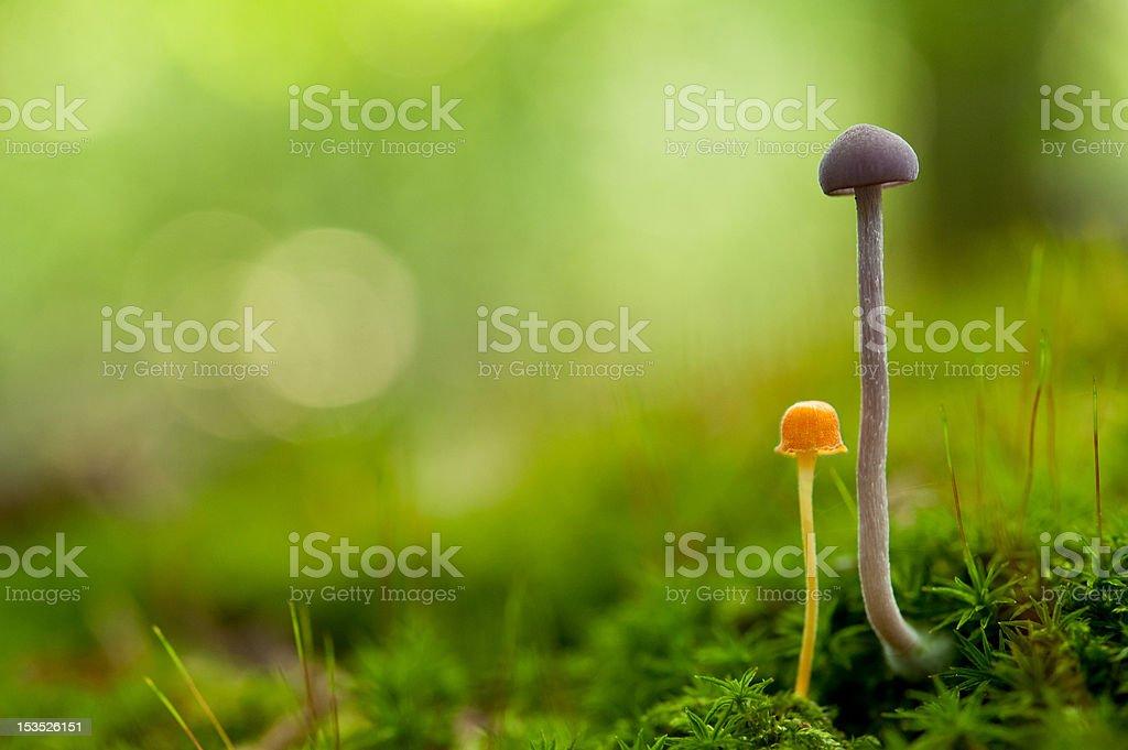 two tiny mushrooms royalty-free stock photo