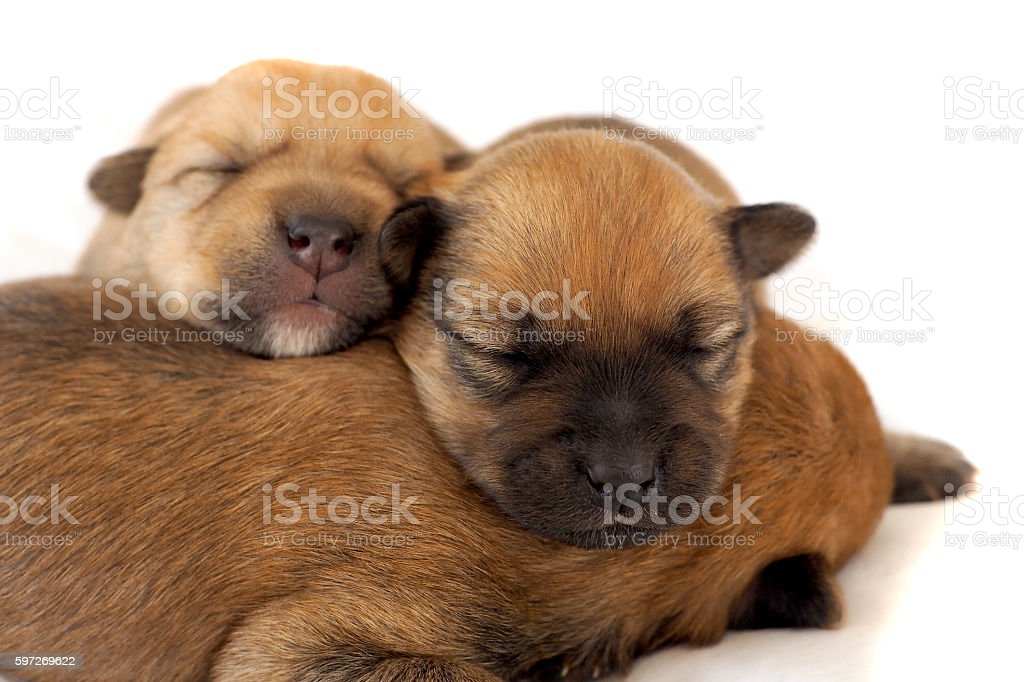 Two tiny puppies asleep together photo libre de droits