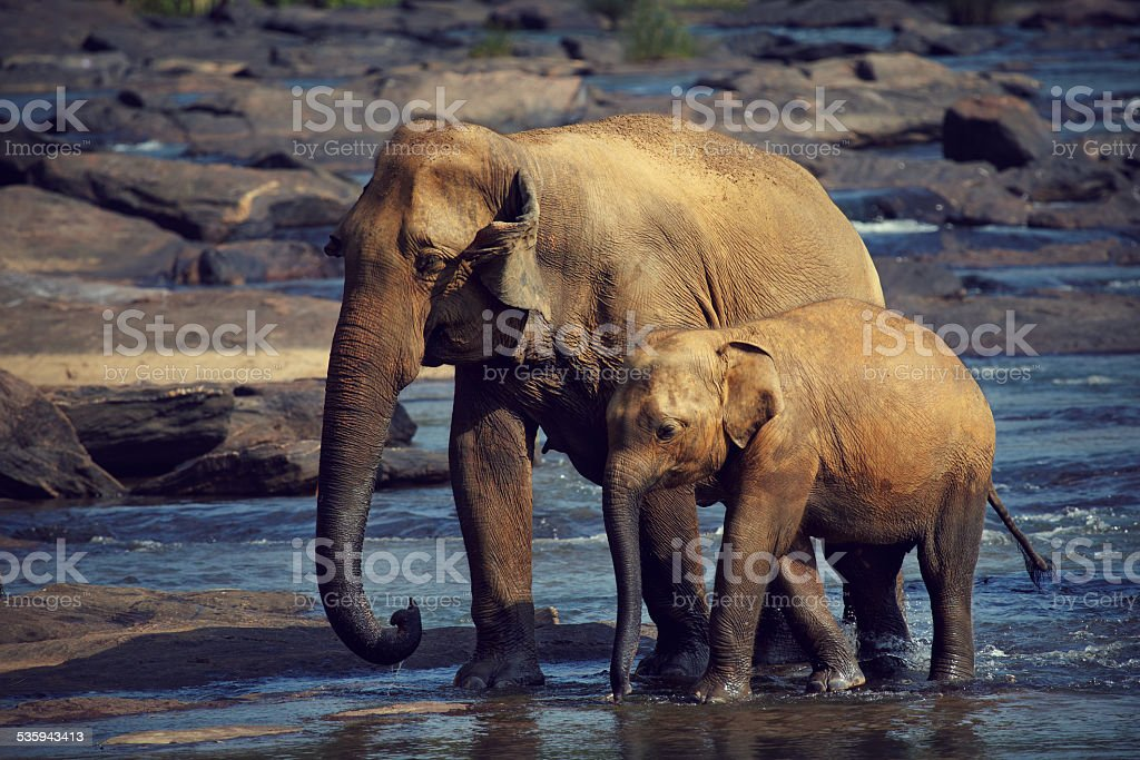 Two tired elephant stock photo