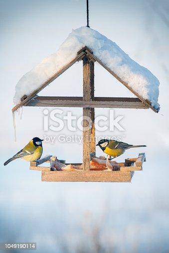 Two tit in the snowy winter bird feeder eating pork fat