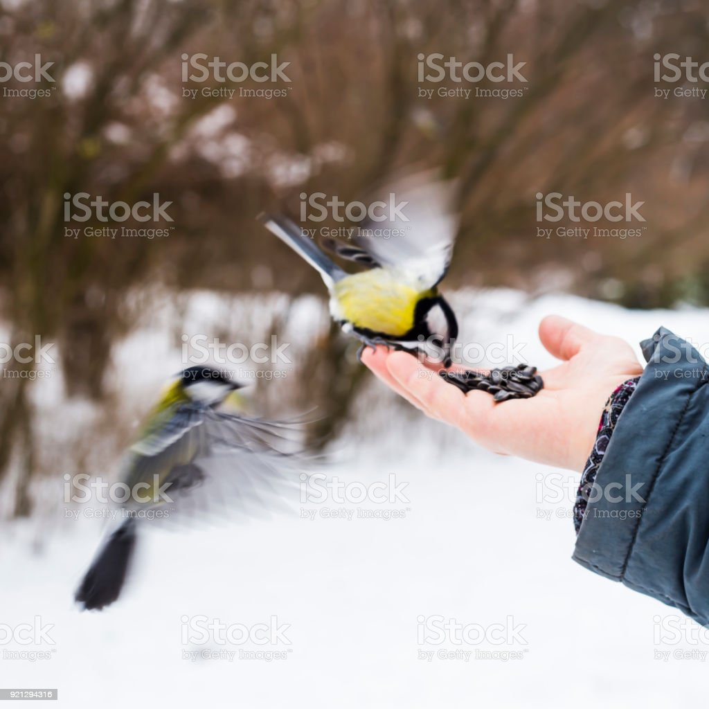 Two tits flew to the man's hand to take the seeds. Winter and bird care concept stock photo