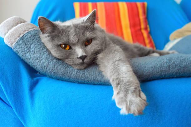 Zwei bis drei Jahre alte entspannte Chartreux-Katze – Foto