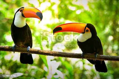 Two Toco Toucan Birds on the Branch in the Tropical Forest.