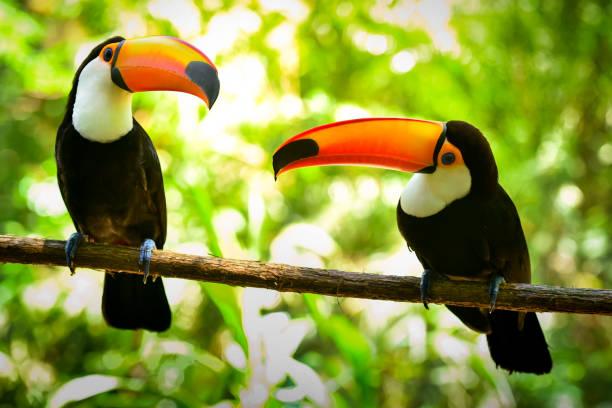 Two Toco Toucan Birds stock photo
