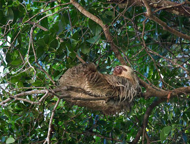 Two Toed Sloth Sleeps stock photo