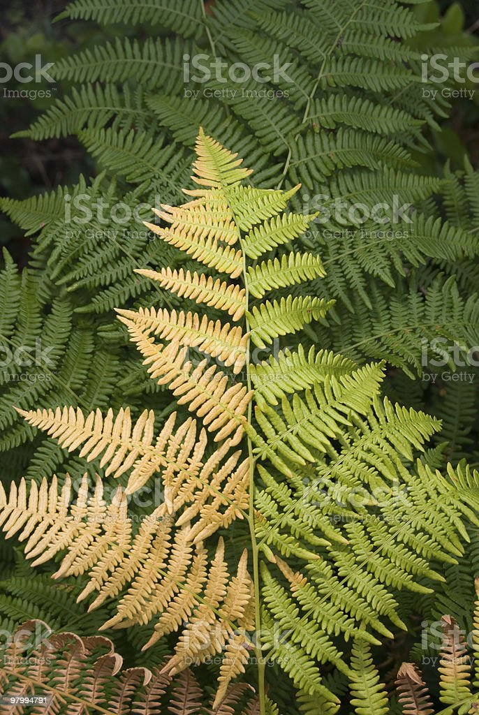 Two Tone Fern royalty free stockfoto