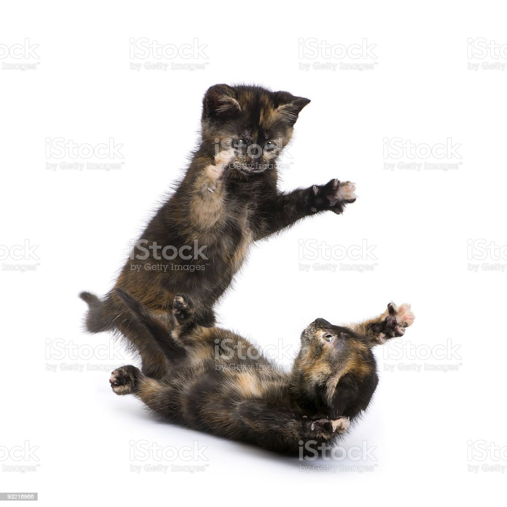 Two Tortoiseshell kitten (2 months) stock photo