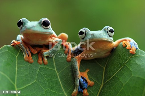 Javan tree frog on leaves