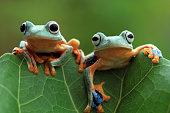 Javan tree frog on leaves