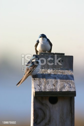 istock Two tree swallows 139975532