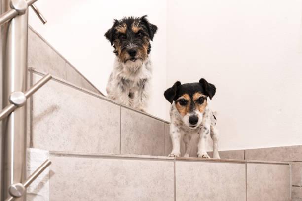 zwei tricolor jack russell terrier 2 und 8 jahre alt - frisur, rauh und gebrochen - wenig hunde stehen auf einer treppe nach unten - angst vor dem abstieg - hund unter treppe stock-fotos und bilder