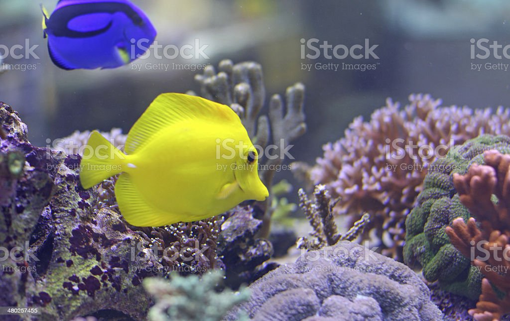 two Tropical fishes swimming in the warm sea stock photo