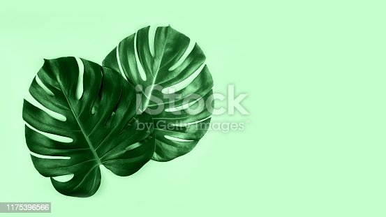 istock Two tropical jungle monstera leaves isolated on mint background. 1175396566