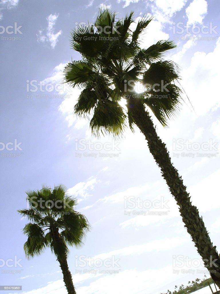 Zwei tropischen Bäumen Lizenzfreies stock-foto