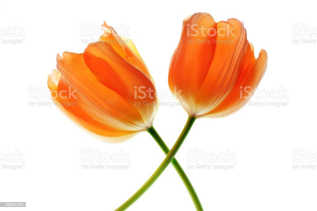 Two Tulip Flowers stock photo