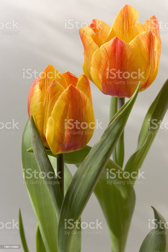 Two tulips fall in love stock photo