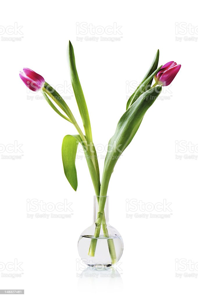Two tulips in a vase isolated on white stock photo