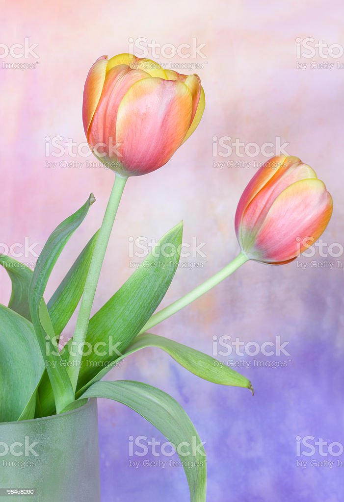Two tulips royalty-free stock photo