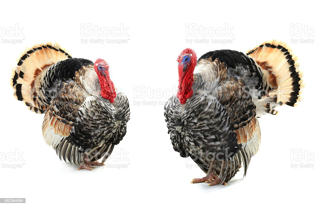 two turkey stock photo
