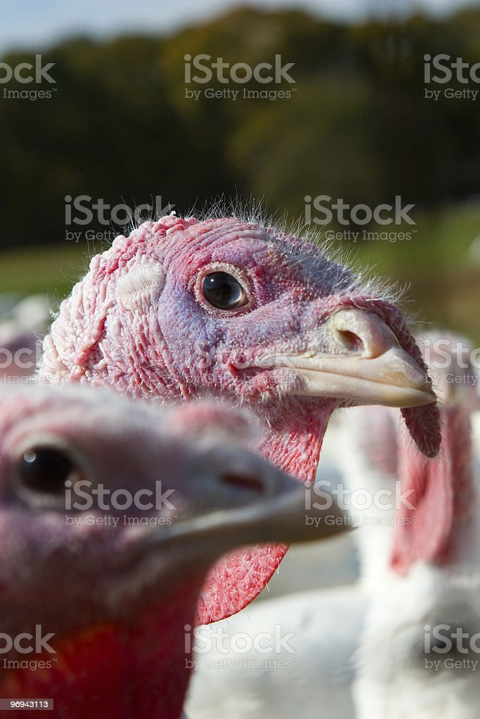two turkeys royalty-free stock photo