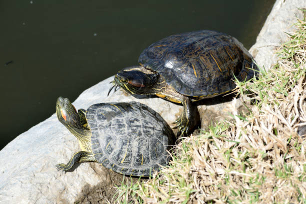 Two Turtles at the Lake stock photo