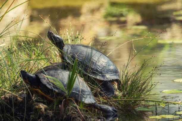 Two turtles at the pond stock photo