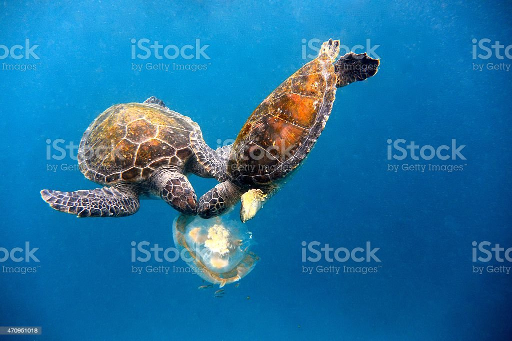 Two turtles eating a jelly fish with heads together stock photo