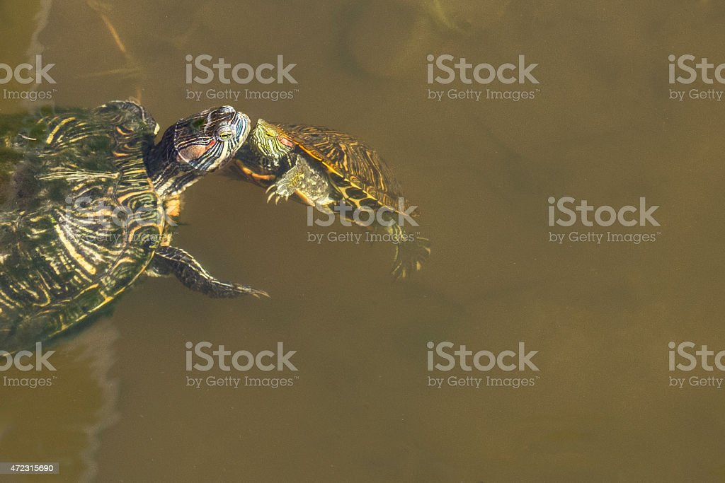 Two turtles in a pond stock photo