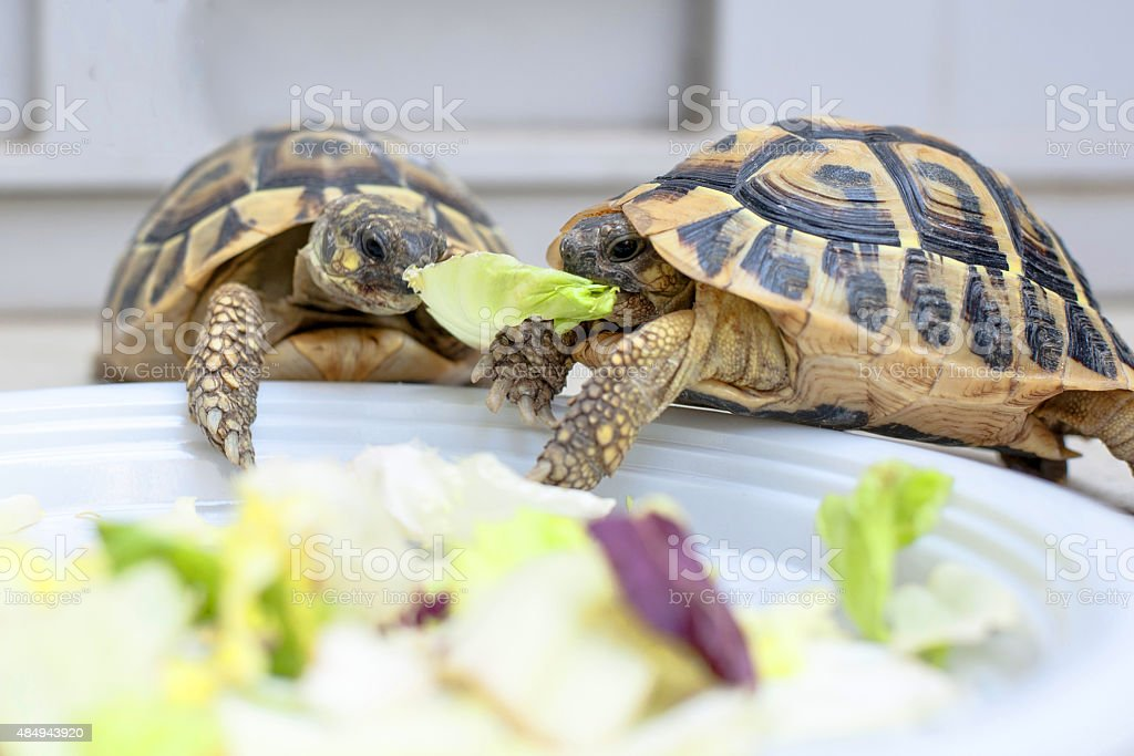 Two turtles in competition Two turtles in competition on a white dish 2015 Stock Photo
