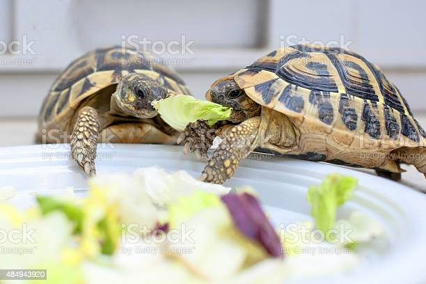Two Turtles In Competition Stock Photo - Download Image Now