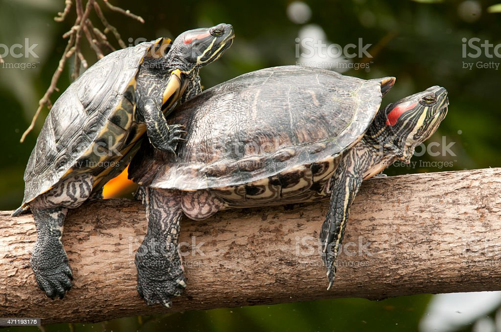 two turtles mating - Royalty-free 2015 Stock Photo