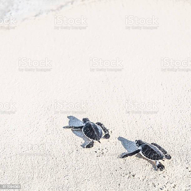 Two turtles newborn are reaching the sea freedom concept picture id517094063?b=1&k=6&m=517094063&s=612x612&h=miutx8odg pg qzgq2dbwpc2xfqknht1zlhogkx9zfu=