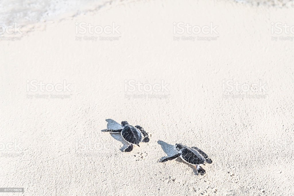 Two turtles newborn are reaching the sea. Freedom concept. stock photo