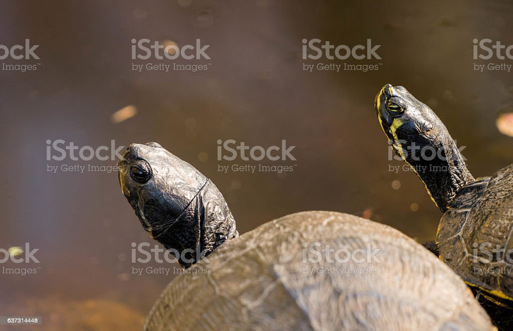 two turtles on the side of a pond stock photo