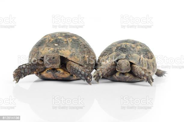 Two turtles on white background picture id812514136?b=1&k=6&m=812514136&s=612x612&h=i5yk0jwimdtmqsiv tvo8rpr2u4doa5lhugba9 lssy=