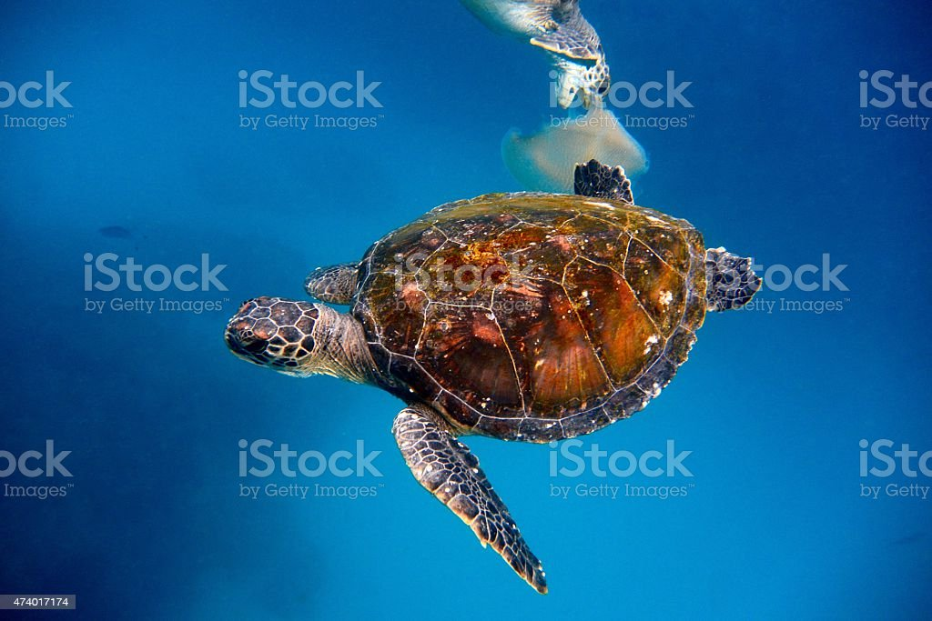 Two turtles, one biting jelly fish stock photo
