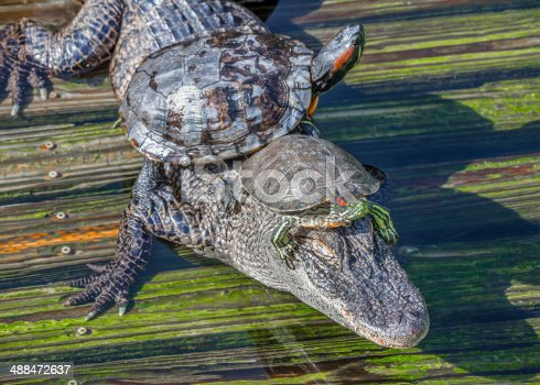 Two Turtles Riding on Alligator's Back and Head