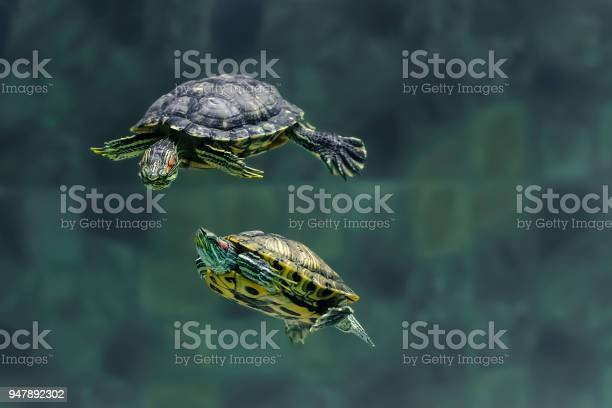 Two turtles swim in an aquarium of the zoo picture id947892302?b=1&k=6&m=947892302&s=612x612&h=2lcheidt xgq zv9qbvo1rc9kjypl6lgvfcyzitfap8=