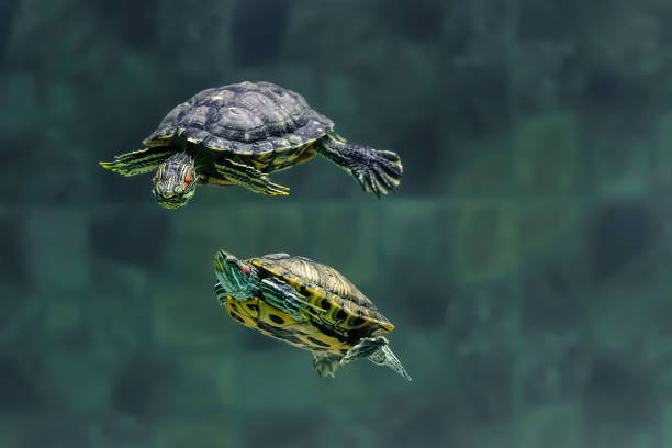 two turtles swim in an aquarium of the zoo - żółw zdjęcia i obrazy z banku zdjęć