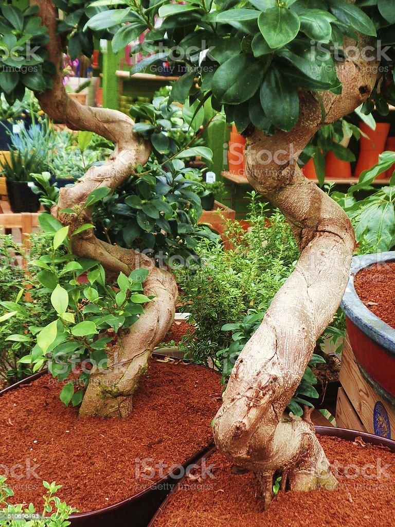 Two twisty tree trunks stock photo