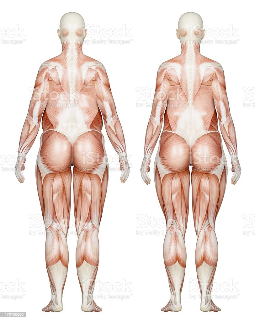 Two types of feminine bodies overweight, focus on muscles royalty-free stock photo