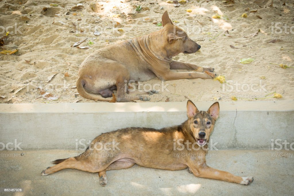 Two vagrant dog (Temple, Thailand) stock photo