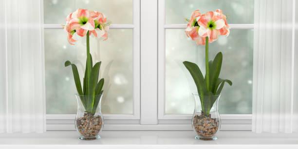 deux vases avec hippeastrum - amaryllis photos et images de collection