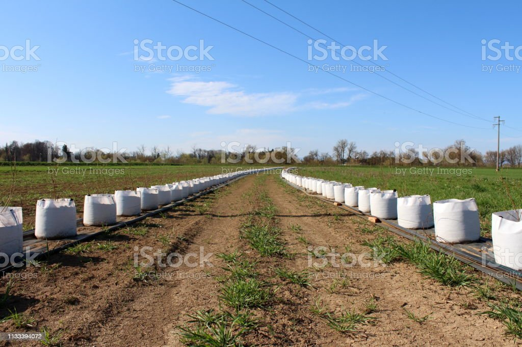 Two very long rows of small trees planted in large white bags ready...