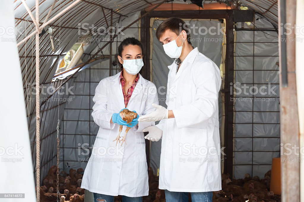 Two veterinarians in hen house stock photo