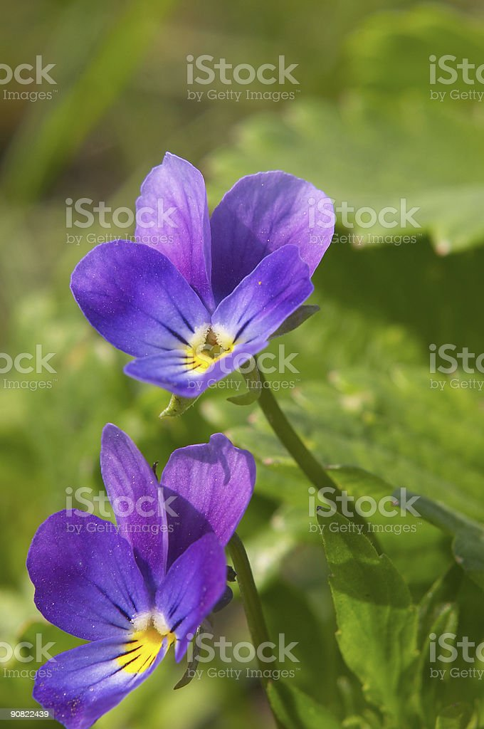 two violet flowers royalty-free stock photo