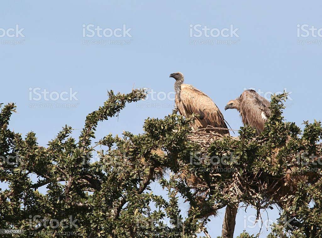 Two Vultures in a tree stock photo
