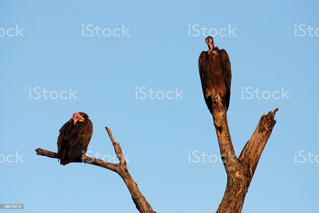 Two vultures on a tree without leaves royalty-free stock photo
